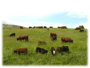Cattle grazing at Country Natural Beef, a suppler of beef for Whole Foods in Seattle