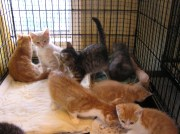 Overflow of kittens at a Pacific NW shelter
