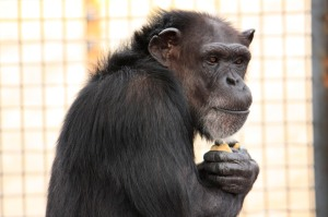 Annie at the Chimp Sanctuary NW