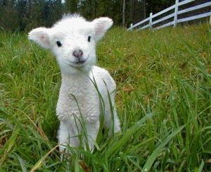 Lamp Chop as a baby sheep