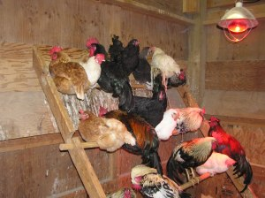 Chickens at roosting hour