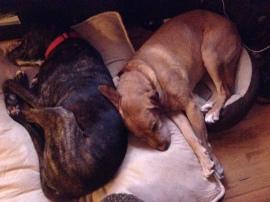 Preston napping in his foster home