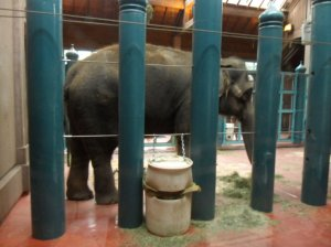 Chai the elephant, in her section of the barn stall at the Woodland Park Zoo. Photo courtesy of the Friends of Woodland Park Zoo Elephants