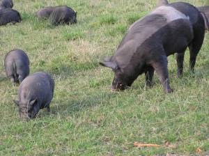 Pigs at the Pigs Peace Sanctuary