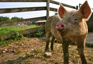 Eric the Pig at Farm Sanctuary - Photo Credit Matthew Prescott