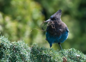 Stellers Jay by Alistair Turner