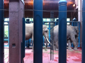 Elephants Watoto and Chai in their stalls at the Woodland Park Zoo. Photo courtesy of Friends of Woodland Park Zoo Elephants