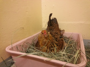 Coreena the Hen at SAS