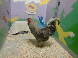 Greyson the Rooster at SAS