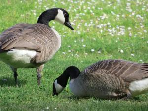 Geese in Seattle parks (Photo by D. Weinstein)