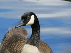 Canada goose in Seattle Park (Photo by D. Weinstein)