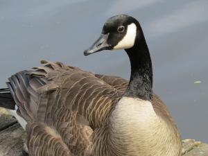 Goose in Seattle park (photo by D. Weinstein)
