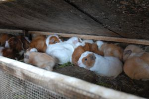 Guinea pigs at an intensified farm in Peru (photo courtesy of Maria Elana Garcia)