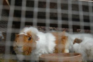 Guinea pigs at factory-style breeding farm in Peru