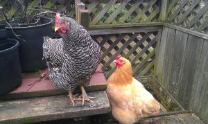 Chickens Barbara and Amber